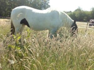Spijsvertering paard biologisch paardenvoer darmflora