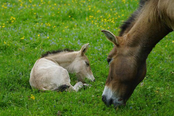domesticatie van paarden door DNA studie prezewalski oerpaarden wild paard DNA onderzoek wetenschap