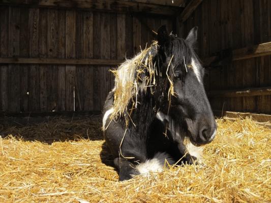 Het belang van goede slaap-/ligplekken in groepshuisvesting, paard liggen in stro, groepshuisvesting, slaap te kort, remslaap